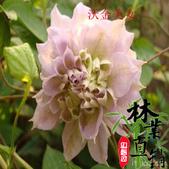 6楓之琳園藝小苗種子圖檔很多稀有植物:T2S6i2XglXXXXXXXXX_!!83427479.jpg