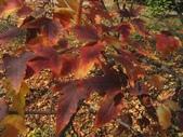 6楓之琳園藝小苗種子圖檔很多稀有植物:20300001209310130655842200778.jpg