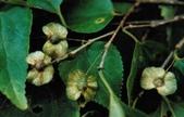 14楓之琳園藝小苗種子圖檔很多稀有植物:300000764046130569302860103_950.jpg
