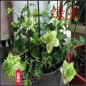 6楓之琳園藝小苗種子圖檔很多稀有植物:T2XOO0XdxaXXXXXXXX_!!83427479.jpg
