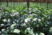 6楓之琳園藝小苗種子圖檔很多稀有植物:01300000121401121161196899032.jpg