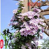 6楓之琳園藝小苗種子圖檔很多稀有植物:T2TkScXjdcXXXXXXXX_!!83427479.jpg