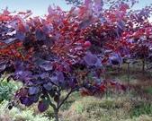 6楓之琳園藝小苗種子圖檔很多稀有植物:20120701154541-1748423588.jpg