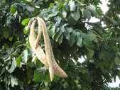 6楓之琳園藝小苗種子圖檔很多稀有植物:dolichandrone_cauda-felina1.jpg