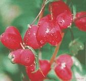 6楓之琳園藝小苗種子圖檔很多稀有植物:388526456_f14eeccc1cef358e52fd9b812ae890ee.310x310.jpg