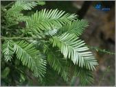 6楓之琳園藝小苗種子圖檔很多稀有植物:2477261270048383793.jpg