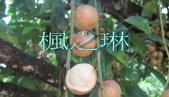 14楓之琳園藝小苗種子圖檔很多稀有植物:T28kdtXoNMXXXXXXXX_!!62484173.jpg