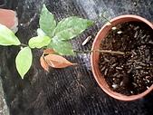 6楓之琳園藝小苗種子圖檔很多稀有植物:IMG_20131004_113659.jpg