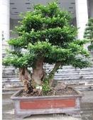 13楓之琳園藝小苗種子圖檔很多稀有植物:461959516_1277393158.310x310.jpg