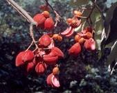 6楓之琳園藝小苗種子圖檔很多稀有植物:01300000174719121482630935266_s.jpg
