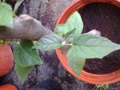 11楓之琳園藝小苗種子圖檔很多稀有植物:20130527_161809