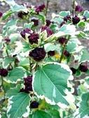 10楓之琳園藝小苗種子圖檔很多稀有植物:images.jpg