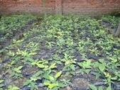 14楓之琳園藝小苗種子圖檔很多稀有植物:images.jpg