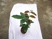 5楓之琳園藝小苗種子圖檔很多稀有植物:upWfkc5GCdTth8SUEs2ACw.jpg