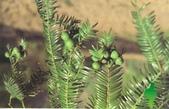 6楓之琳園藝小苗種子圖檔很多稀有植物:20130820052238774.jpg