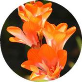 14楓之琳園藝小苗種子圖檔很多稀有植物:T24D1fXfNcXXXXXXXX_!!1099696464.jpg_310x310.jpg