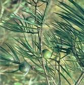 6楓之琳園藝小苗種子圖檔很多稀有植物:01300000165495121101908809042_s.jpg