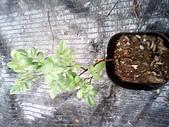 6楓之琳園藝小苗種子圖檔很多稀有植物:IMG_20131004_114347.jpg