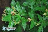 6楓之琳園藝小苗種子圖檔很多稀有植物:01300001209310130655821798416.jpg