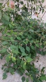8楓之琳園藝小苗種子圖檔很多稀有植物:T2WwoGXm4aXXXXXXXX_!!333761806 (1)