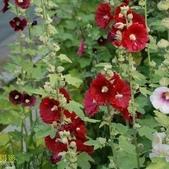 15楓之琳園藝小苗種子圖檔很多稀有植物:T1uqJvXfVMXXbXdq32_043203.jpg_310x310.jpg