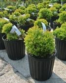 5楓之琳園藝小苗種子圖檔很多稀有植物:YMOt_yTXqmrH5i_xVYkzug.jpg