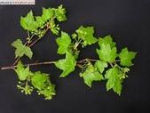 6楓之琳園藝小苗種子圖檔很多稀有植物:01300000013093118960352160314.jpg
