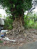 超過兩百年的老龍眼樹:龍眼樹