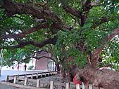 「庇祐庶民」的千年茄苳樹:L1040823.b.jpg