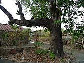 超過兩百年的老龍眼樹:土芒果樹