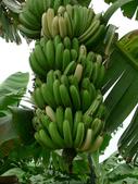 變種香蕉:L1070119.b.jpg