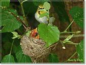 鳥類:綠繡眼孵蛋6-19-11.jpg