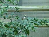 鳥類:白頭翁吃瑪瑙珠