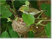 鳥類:綠繡眼孵蛋6-19-13.jpg
