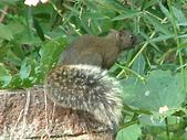 哺乳類:東看西看的赤腹松鼠