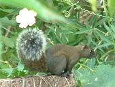 哺乳類:在絲瓜叢裡的赤腹松鼠
