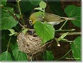 鳥類:綠繡眼孵蛋6-19-02.jpg