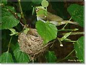 鳥類:綠繡眼孵蛋6-19-04.jpg