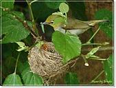 鳥類:綠繡眼孵蛋6-19-06.jpg