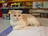 藝術雅集:害羞的貓