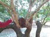 林內濁水溪灌溉的荔枝樹正在結果,等待認養哦。:YP20140111112136054.jpeg
