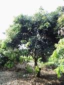 林內濁水溪灌溉的荔枝樹正在結果,等待認養哦。:IMG_2484.JPG