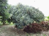 林內濁水溪灌溉的荔枝樹正在結果,等待認養哦。:IMG_2486.JPG