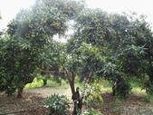 林內濁水溪灌溉的荔枝樹正在結果,等待認養哦。:IMG_2488.JPG