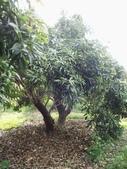 林內濁水溪灌溉的荔枝樹正在結果,等待認養哦。:IMG_2490.JPG
