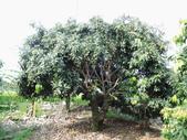 林內濁水溪灌溉的荔枝樹正在結果,等待認養哦。:IMG_2492.JPG