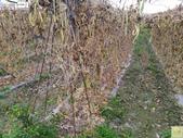 林內濁水溪四季豆:42585印.jpg