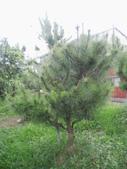 南投鹿谷盆栽展示:IMG_9330.JPG