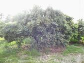 林內濁水溪灌溉的荔枝樹正在結果,等待認養哦。:IMG_2493.JPG