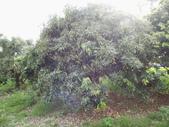 林內濁水溪灌溉的荔枝樹正在結果,等待認養哦。:IMG_2494.JPG